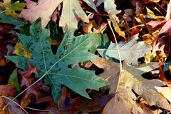 Autumn Leaves on the Ground. Piled up Autumn leaves on the ground Royalty Free Stock Image