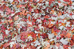 Autumn leaves on ground Royalty Free Stock Image