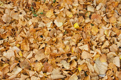 Autumn leaves on the ground. Royalty Free Stock Photo