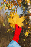 Autumn leaves in hand Royalty Free Stock Photography