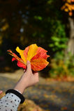 Autumn leaves in hand Royalty Free Stock Photo