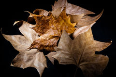 Autumn leaves. Handful autumn leaves over black background Royalty Free Stock Images