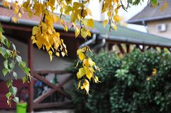 Autumn leaves hanging from a birch tree. With houses in the background Stock Photos