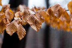 Autumn leaves hanging on a branch after rain Royalty Free Stock Photography