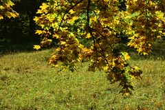 Autumn leaves hanging on tree branch with grass Stock Photos