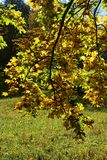 Autumn leaves hanging on tree branch with grass Stock Images