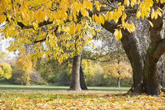 Autumn leaves hanging on tree branch in park Stock Photos