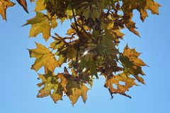 Autumn leaves hanging on tree branch with sky Royalty Free Stock Images