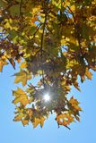 Autumn leaves hanging on tree branch with sky and sun beams Royalty Free Stock Photo