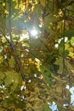 Autumn leaves hanging on tree branch with sky and sun beams Royalty Free Stock Photos