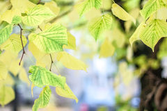Autumn leaves hanging on a tree Stock Photo