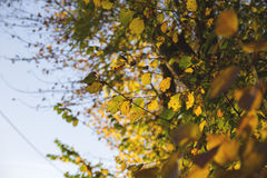 Autumn leaves. Hazel leaves with autumn colors Royalty Free Stock Photos