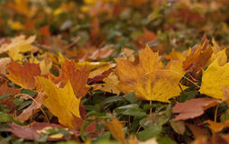 Autumn Leaves on a Hedge. Royalty Free Stock Image