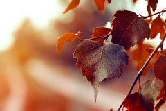 Autumn Leaves hermoso en Autumn Red Background Sunny Daylight foto de archivo libre de regalías