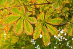 Autumn leaves horse chestnut Royalty Free Stock Image
