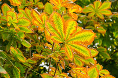 Autumn leaves horse chestnut Royalty Free Stock Images