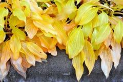 Hosta leaves in autumn colors