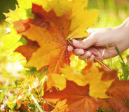 Autumn leaves in human hand Royalty Free Stock Photo