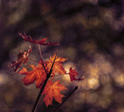 Autumn twig with  leaves Stock Image