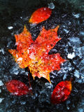 Autumn leaves in ice Stock Images
