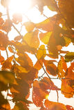 Autumn leaves illuminated the sun. Royalty Free Stock Photography