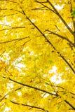 Autumn leaves illuminated the sun. Stock Photo