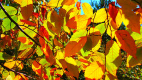 Autumn leaves. Illumined by rays of the sun Royalty Free Stock Photos