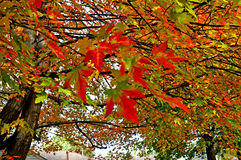 Autumn leaves. Image of maple leaves in autumn Stock Photography