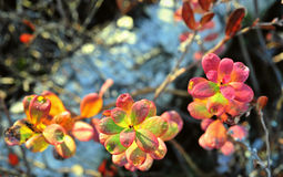 Autumn Leaves In Sunset Light Royalty Free Stock Image