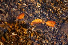 Nature mountains carpathians autumn leaves sunrise forest sunshine leaves yellow blue sky rays heat multicolored palette. Autumn leaves inside the water with royalty free stock image