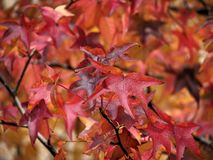 Autumn leaves. Autumn leaves, of intense red colors Stock Images