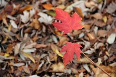 Autumn leaves. Royalty Free Stock Photo
