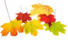 Autumn leaves, isolated Stock Photos