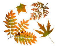 Autumn leaves isolated Stock Photography