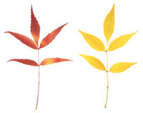 Autumn leaves isolated. Two autumn leaves isolated on white Stock Images