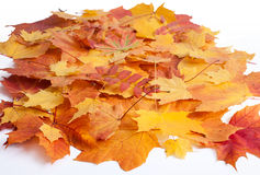 Autumn leaves isolated Stock Image