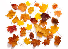 Autumn leaves isolated Stock Images