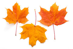 Autumn leaves isolated Royalty Free Stock Photography