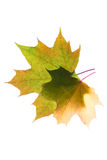 Autumn leaves isolated with copy space Royalty Free Stock Photography