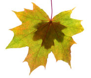 Autumn leaves isolated with copy space Stock Photo
