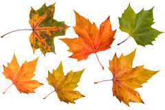 Autumn leaves (isolated) Royalty Free Stock Image