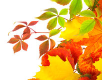 Autumn Leaves Isolated On A White Background Stock Images