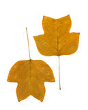Autumn leaves isolated on white. Two autumn leaves dried on white sheet of herbarium, fall shades of brown Royalty Free Stock Photography