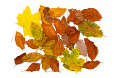 Autumn leaves. Isolated on the white background Stock Photo