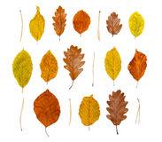 Autumn leaves. Isolated on the white background Royalty Free Stock Images