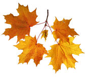 Autumn leaves isolated on white background Stock Photos