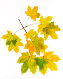 Autumn leaves  isolated on white background Royalty Free Stock Images