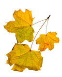 Autumn leaves  isolated on white background Stock Images