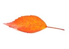 Autumn leaves isolated on white background. Stock Image