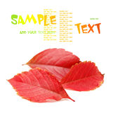 Autumn leaves. Isolated on a white background. Parthenocissus quinquefolia. studio shot Royalty Free Stock Image